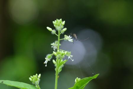 2021.07.24 追分市民の森 ミズタマソウに蚊